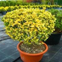 Gold taflan peyzaj bitkisi