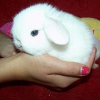lop tavşan